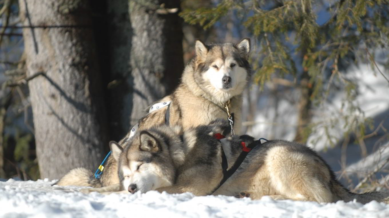 Megève dog sledding in the evening with Alaskan Malamutes, the amazing winter activity for teens from 18 years old !