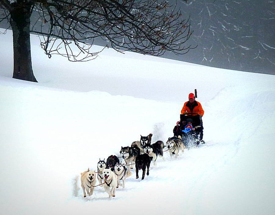 Megeve dog sledding with Alaskan Malamutes, the amazing winter activity for families !